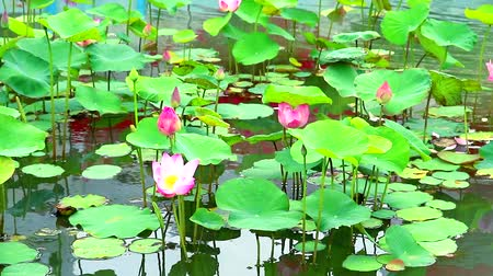 stonky : Pink Lotus Flower full blooming in the pond and pad on water background1