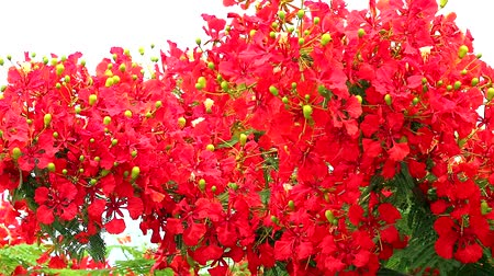 barbados : Red Caesalpinia pulcherrima flowers tree are blooming in the garden1