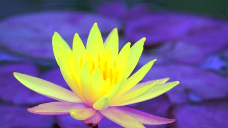 fleur lotus : Yellow Lotus Flower full blooming in the pond and blur pad background