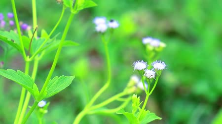 květenství : emilia sonchifolia has health benefits a tea made from leaves is used in treatment of dysentery2