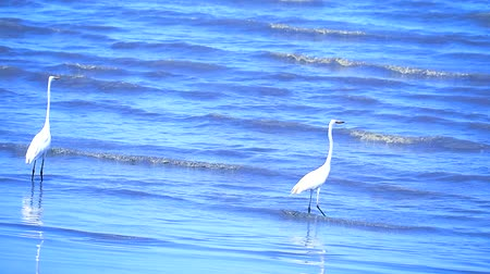 hunter : Egret are searching for seafood by the beach1