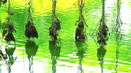 banyan : reflection roots of banyan tree swing on water surface in lake1 Stock Footage