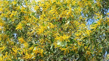 fragrances : Earleaf acacia yellow bouquet flower blooming all tree and green leaves background