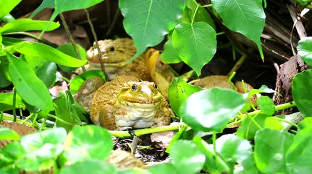 fallen leaves : Frogs live away from the sun in the shade of trees and are active at night