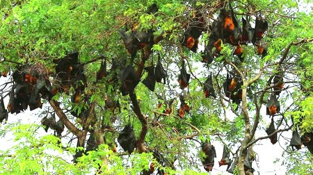 лиса : hundreds of Lyle flying fox sticking on tree branches Hanging his head down to sleep