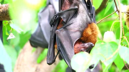 downwards : Lyles flying fox sticking on tree branches Hanging his head down to sleep Stock Footage