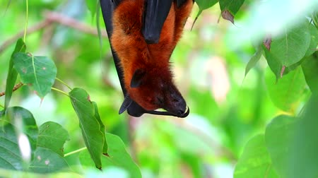 fruit bat : Lyles flying fox sticking on tree branches Hanging his head down to sleeping