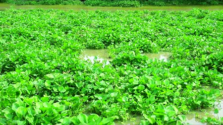 mês : pollution traffic of water hyacinth floats on the water surface and flows along the river