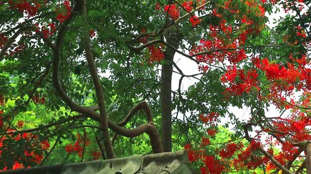 barbados : Red Caesalpinia pulcherrima flowers tree are blooming in the garden on roof Stock Footage