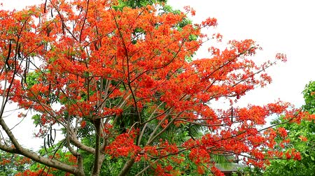 barbados : Red Caesalpinia pulcherrima flowers tree are blooming in the garden Stock Footage