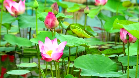 lilyum : Pink Lotus Flower full blooming in the pond and blur pad on water Stok Video