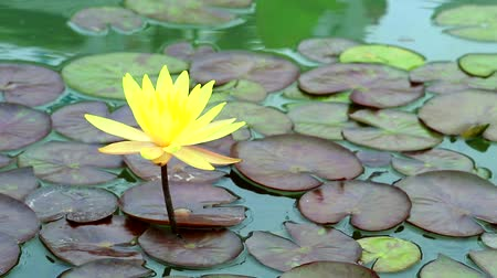 stonky : Yellow Lotus Flower full blooming in the pond and blur pad  on water