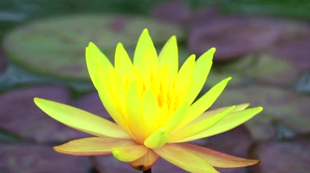 lilyum : Yellow Lotus Flower full blooming in the pond and blur pad background