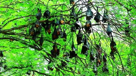 downwards : hundreds of Lyle flying fox sticking on tree branches Hanging his head down to sleep and relax Stock Footage