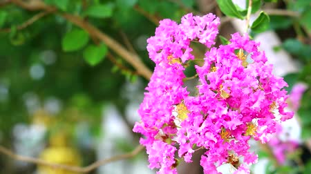 королева : Queen flower or Lagerstroemia speciosa have pink and light color blooming on tree in garden