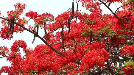 tavuskuşu : red flame tree flower blooming in the garden3