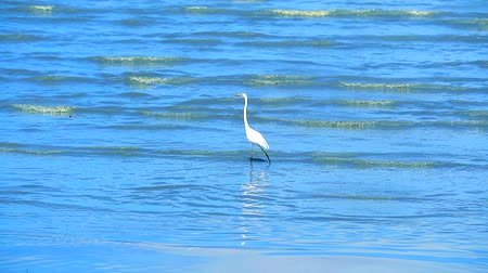 nemes kócsag : Egret are looking for seafood by the beach2 Stock mozgókép