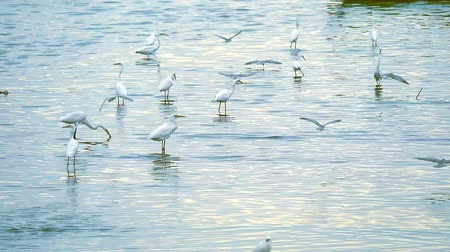 ohař : Egrets stand to catch animals in water of canel when low tide