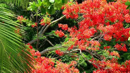 paw : The Flame Tree, Royal Poinciana in the park moving by wind in afternoon