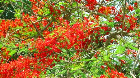 paw : The Flame Tree, Royal Poinciana in the park moving by wind in morning