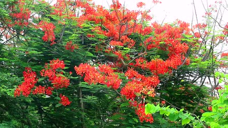 tavuskuşu : The Flame Tree, Royal Poinciana in the park moving by wind Stok Video