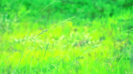 ot : young green grass in the field and sunlight in the morning Stok Video