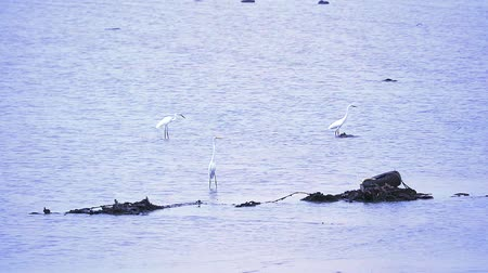 ohař : Egrets find to catch animals in water of sea when low tide Dostupné videozáznamy