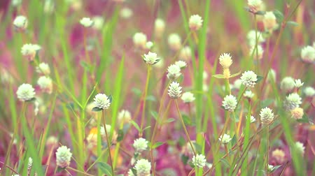 grass flowers : Gomphrena weed is white flower, it is growing is a common weed in the tropics Stock Footage
