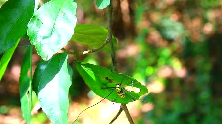 antennae : Long Horned Borer Beetle is eating and damage leaves to breeding during rainy season