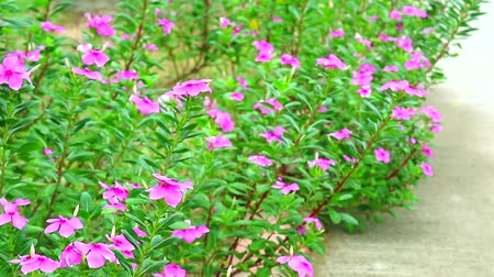 madagaskar : Madagasca Perwinkle, Rose Periwinkle pink flower in the garden