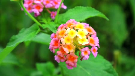 heg : pink orange yellow lantana camara various color bloom in the garden has green leaves