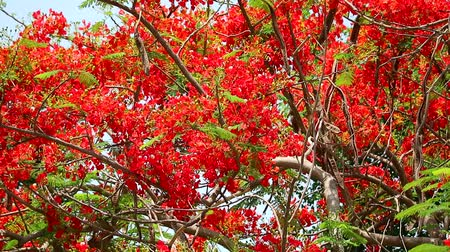 paw : The Flame Tree, Royal Poinciana in the park moving by wind in morning2