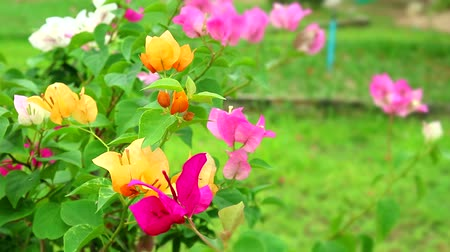 magenta flowers : multicolor Bougainvillea flower holds bouquet swaying along the wind in the garden