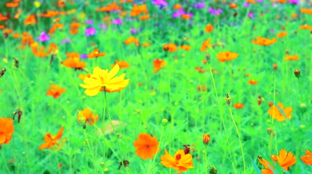 pólen : Sulfur Cosmos or orange cosmos flowers blooming in the garden
