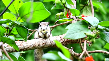 chipmunk : Squirrel trickling fruit acacia in a branch tree in the garden