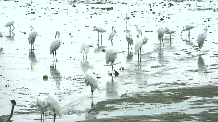 aironi : Egrets find to catch animals in water near canal when low tide
