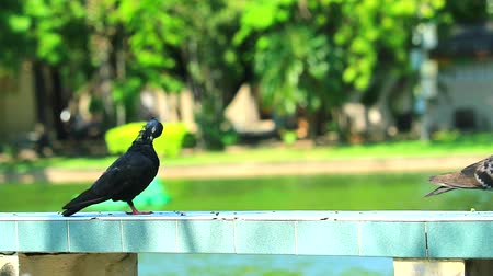 zbloudilý : pigeon cleaned the feathers and stood on a bench in the park and fountain in lake background