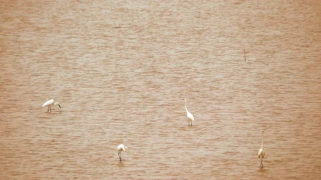 nemes kócsag : Egrets find to catch animals in water of sea when low tide Stock mozgókép