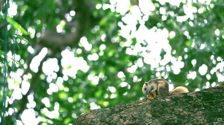 chipmunk : Squirrels take the fruit of the garden to eat on the branches tree Stock Footage