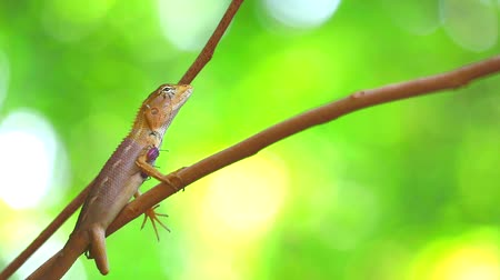 most : A chameleon on a dry tree branch has a stink bug on its body, the concept of living creatures must rely on each other Dostupné videozáznamy