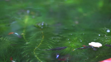 paw : guppies fish swim and eat food among soft algae, focus on food on water Wideo