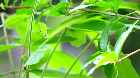 клык : Oriental whipsnake hide in the leaves in garden for insects and small animals to eat Стоковые видеозаписи