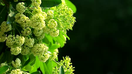 mal cheiroso : Pong pong tree or devil tree are blooming, smelly at the end of the rain and cold