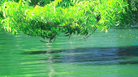 banyan : branch tree over water and reflection tree pollen floating on surface