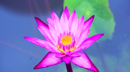 stonky : light pink lotus blooming after rain fall and blur two color background Dostupné videozáznamy