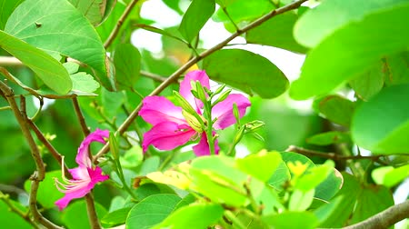 favori : Purple Orchid Tree, Hong Kong Orchid Tree, Purple Bauhinia pink flower