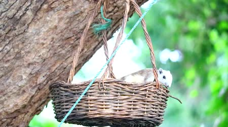 squirrel : squirrel eating fruits in basket, basket hang on tree in the garden