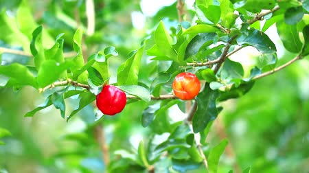 césar : Acerola cherry has contains vitamin A, beta carotene, lycopene and carotene and very high levels of natural vitamin C 65 times more than fresh oranges Stock Footage