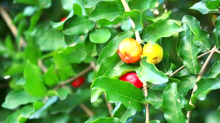 barbados : Acerola cherry has contains vitamin A, beta carotene, lycopene and carotene and very high levels of natural vitamin C 65 times more than fresh oranges Stock Footage