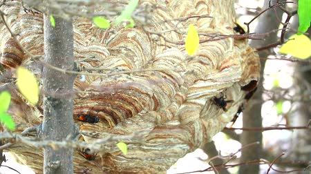 スティンガー : Wasps hive in the garden and are exploring around the area and close up to entry 動画素材